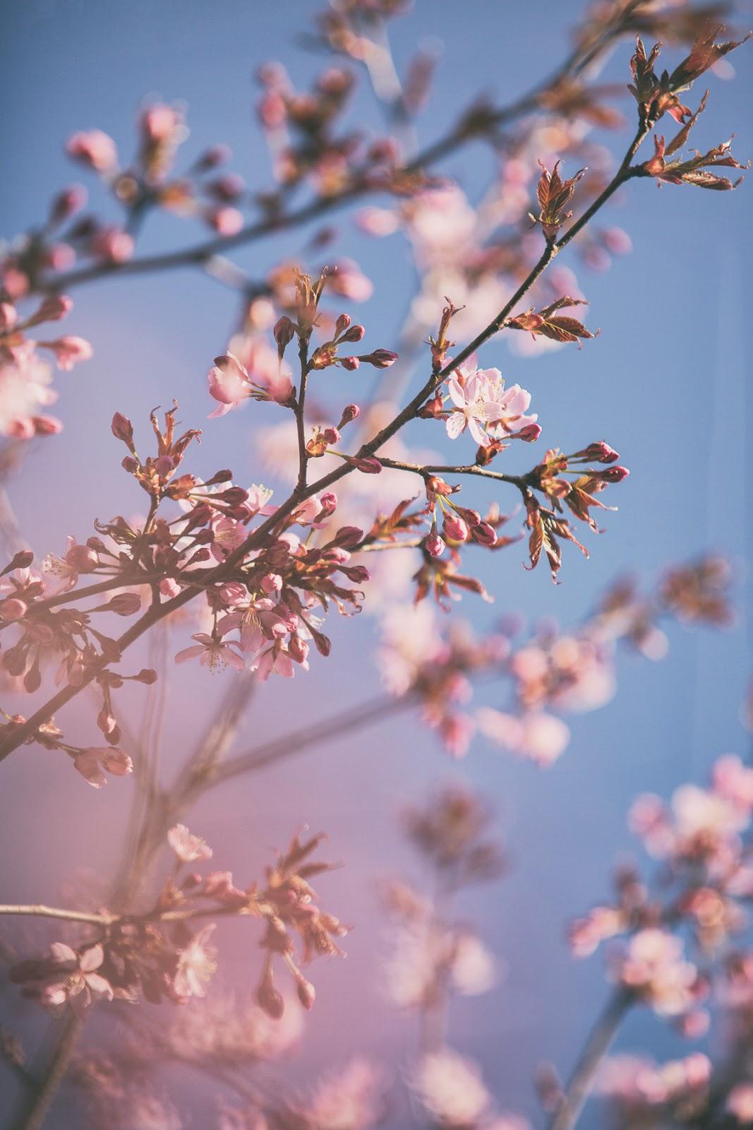 Helsinki, visithelsinki, finland, suomi, visitfinland, hanami, Roihuvuoren kirsikkapuisto, roihuvuori, kirsikkapuu, puito, nature, cherryblossom, kirskikankukka, kukkiva puu, kukat, valokuvaus, valokuvaaja, Frida Steiner, visualaddictfrida, visualaddict, blog, valokuvaaminen, kevät, luonto, nature, naturephotography, luontokuvaus