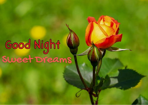 good-night-red-rose-flowers-HD