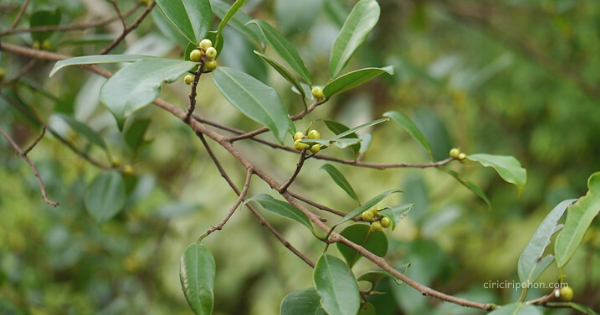 Beringin Kimeng (Ficus microcarpa)