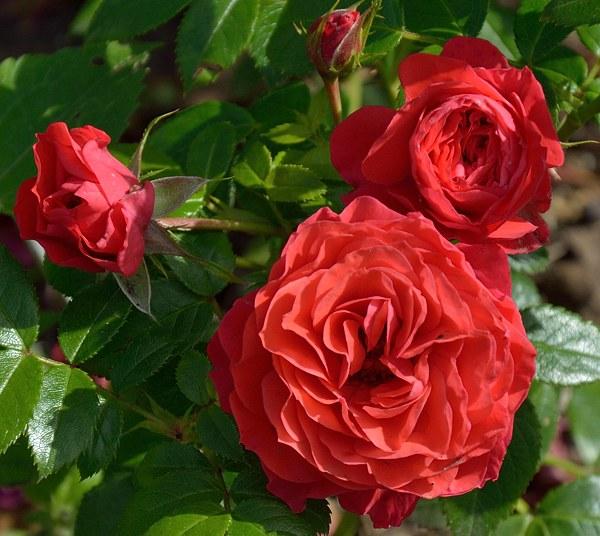 Cherry Girl роза фото сорт