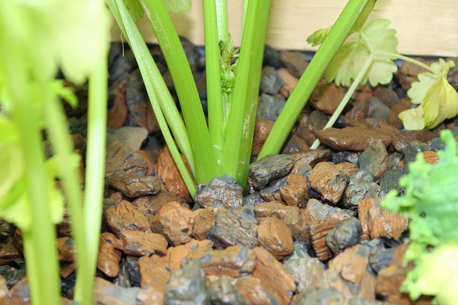 Suburban Aquaponics - Transplanting and Root Development