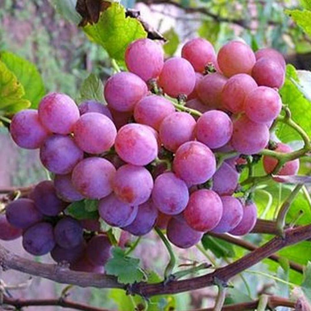 Harga Hemat! Ju L Bibit Tanaman Buah Anggur Red Merah Lokal Kota Kediri #jual bibit buah genjah