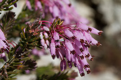 Heather plant at Pantalica.