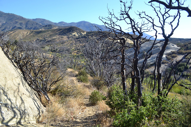 burned scrub oaks
