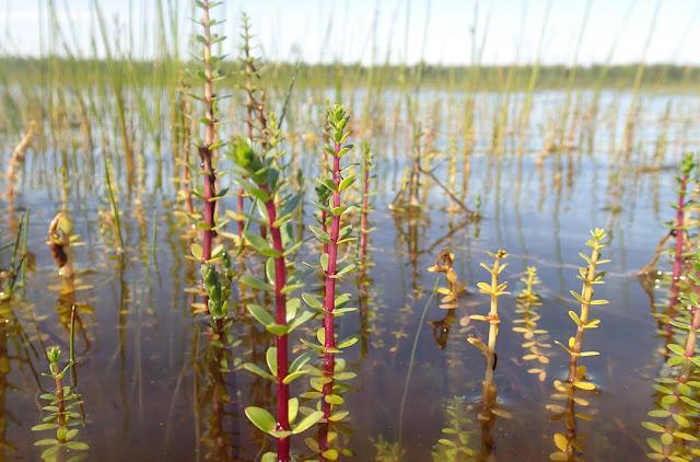 Punavartisia kasveja nousee veden pinnan yläpuolelle