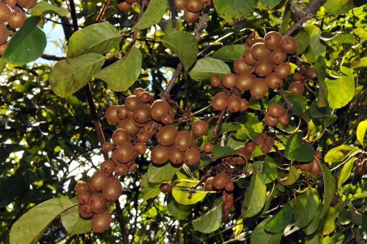 福星花園: 山梨獼猴桃