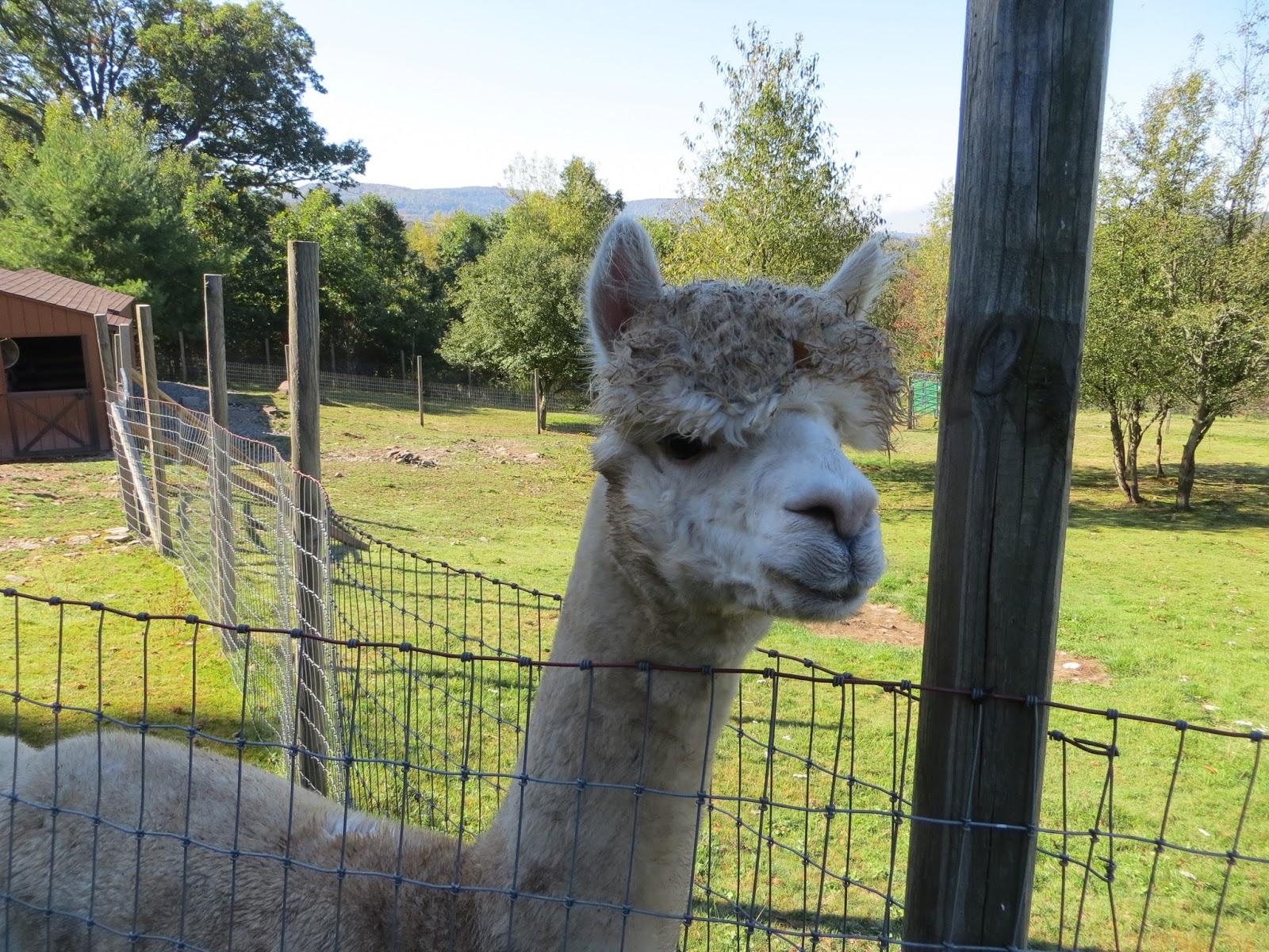 Alpacas rock alpaca farm days at rock garden alpacas for Alpaca view farm cuisine