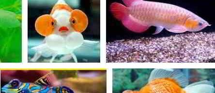 Ikan Hias Lucu dan Gambarnya Beserta Harganya yang Mahal