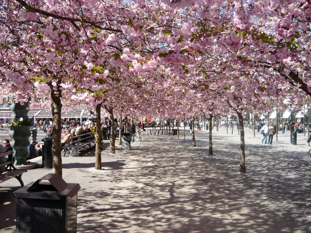 avenue of light-pink double flowering ornamental cherries