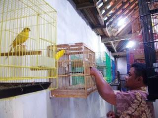 Perawatan dan Setelan Burung Kenari Pasca Lomba - Solusi Perawatan Burung Kenari Untuk Lomba