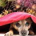 Οι σκύλοι φοβούνται τα πυροτεχνήματα...