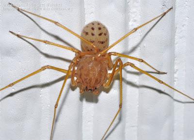 Araña escupidora (Scytodes univittata)