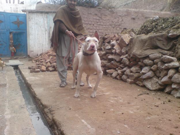 Lovely Bull Terrior Dog For Sale