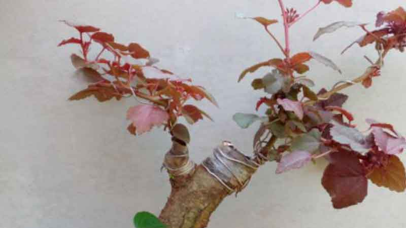 Jenis Pohon Waru Untuk Bonsai