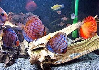 proses pemijahan ikan discus,budi daya ikan diskus,cara beternak ikan hias discus,teknik pembenihan ikan discus,bisnis ikan discus,budidaya ikan discus di kolam,artikel budidaya ikan discus,