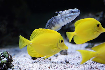 Which Surgeonfish or Tang Fish Should Beginners Start With