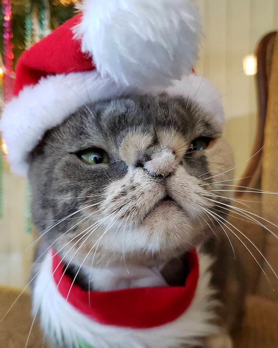 'Willow', a beautiful girl born with a fuzzy heart shaped nose wearing her Santa cat outfit.