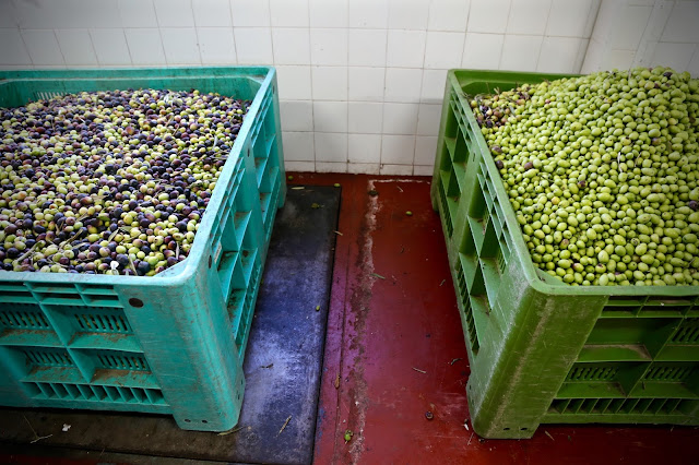 The olives are weighed. An average crate is around 200 kilo OLIVE OIL SICILY