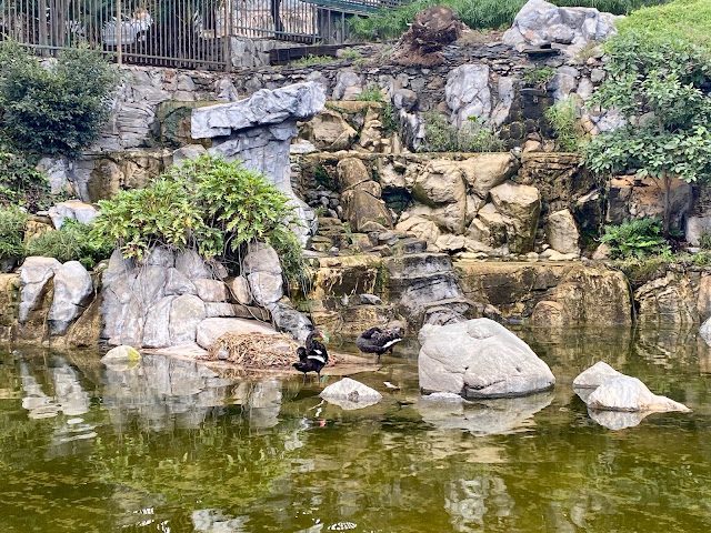 Black swans in the pond in Parque Doramas, Las Palmas, Gran Canaria, Spain