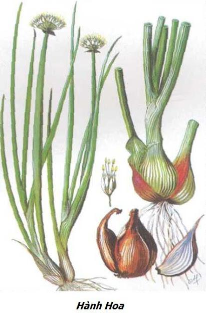 Hành Hoa - Allium fistulosum - Nguyên liệu làm thuốc Chữa Cảm Sốt