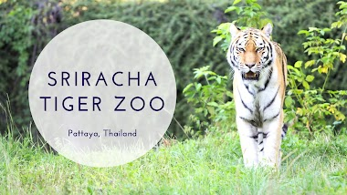 Sriracha Tiger Zoo Ticket Price with Lunch + Transfer