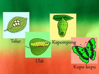 membuat alat peraga sederhana gambar metamorfosis kupu kupu untuk anak tk