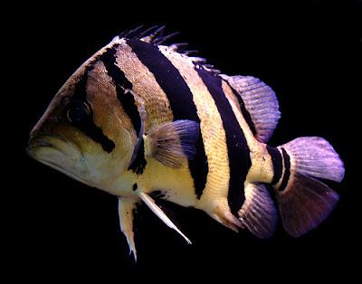 Ikan Datz