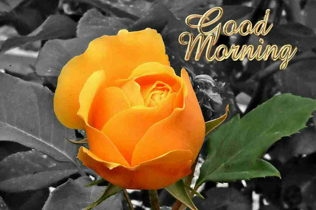 Awesome good morning image with yellow rose flower
