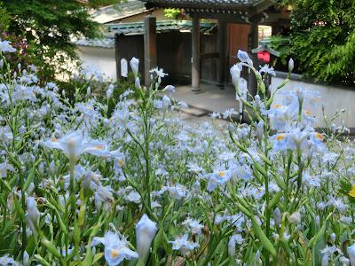 円覚寺のシャガ