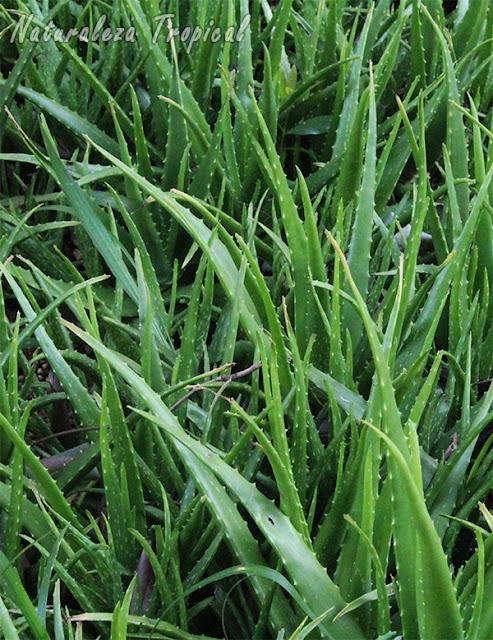 Cultivo de la planta medicinal conocida como Sábila, Aloe vera