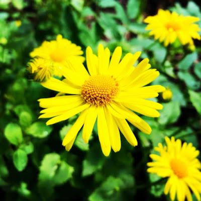 Kevätvuohenjuuri on kuin keltainen päivänkakkara