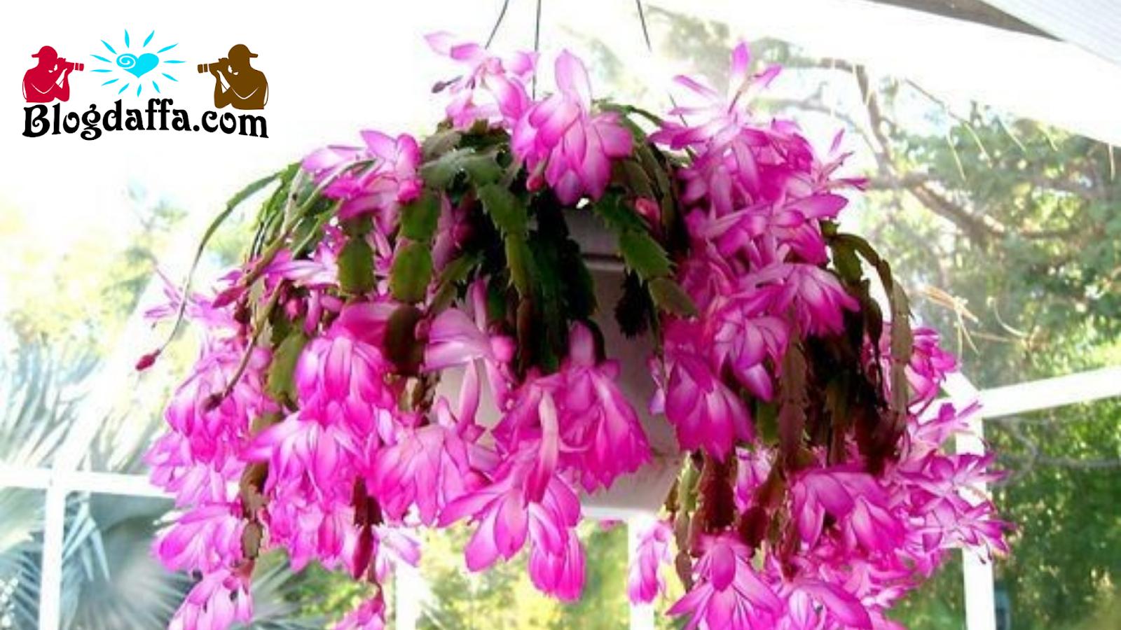 Bunga Zygocactus gantung tahan panas