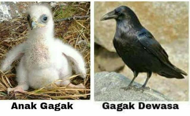 Kisah burung bughats