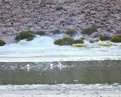 flamingos, Atacama Desert