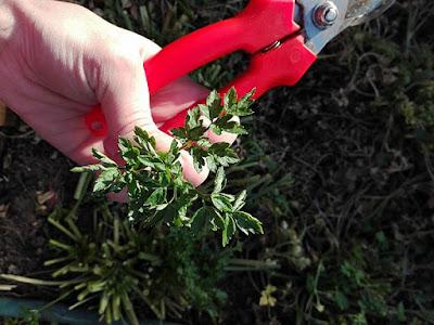 Raccogliere nell'orto erbe da seccare: prezzemolo