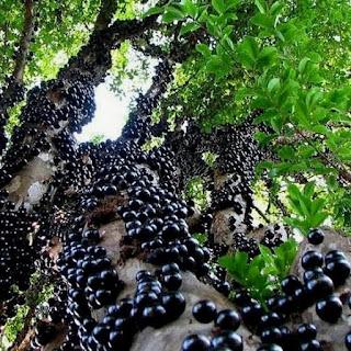 Bibit tanaman Unggul Jaboticaba Preco