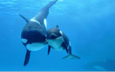 Carqa perkembangbiakan paus (Vivipar)