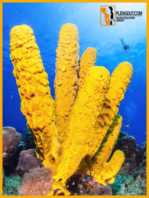 Pict: Yellow sponges pump huge quantities of water through their hollow bodies while feeding.