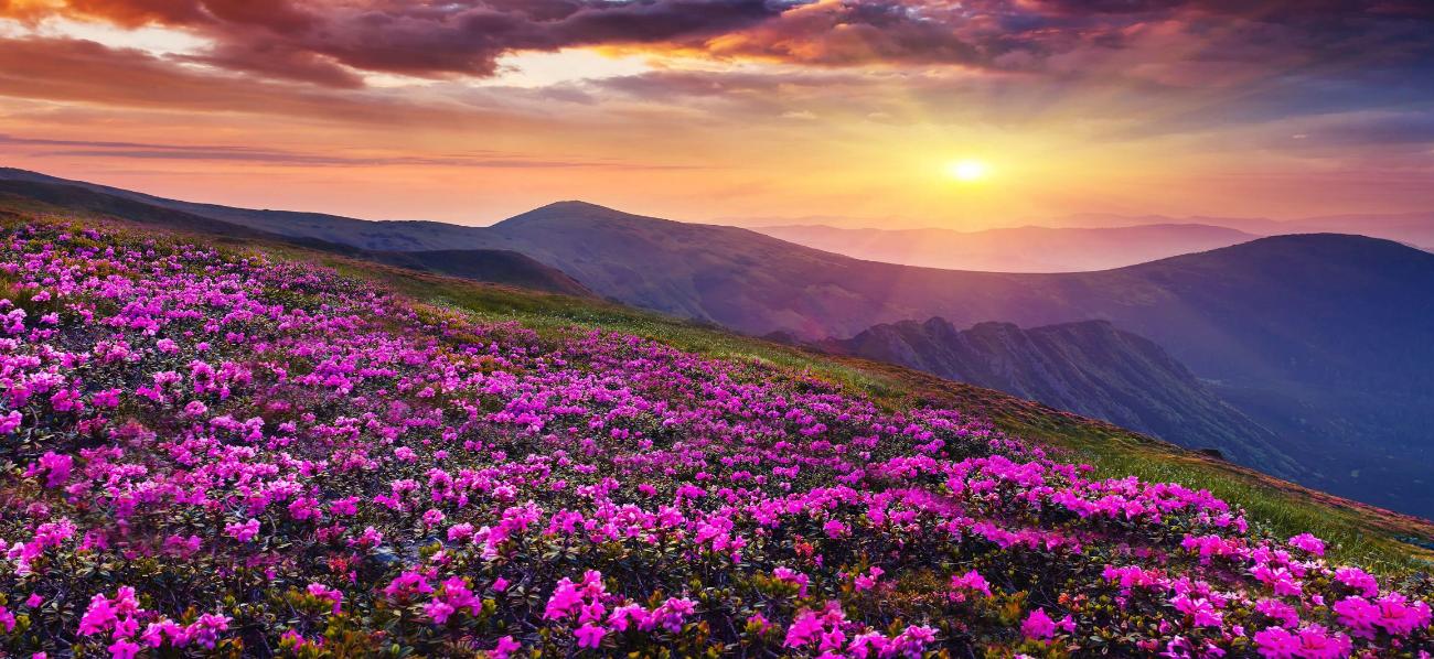 زهور الجبال