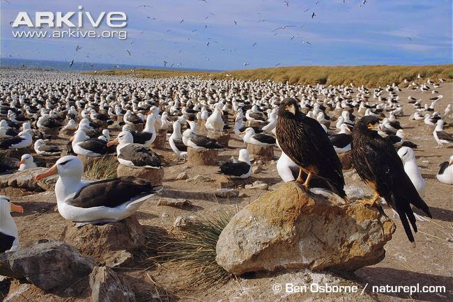 interactions between argentinian birds black browed albatross