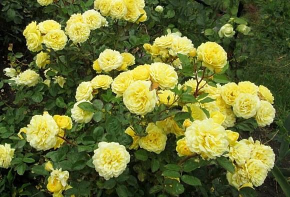 Anny Duperey сорт розы фото Минск купить саженцы