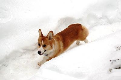 pembroke-welsh-corgi-كلب-بمبروك-ويلش-كورجي