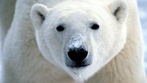 Beruang Kutub, Rusia