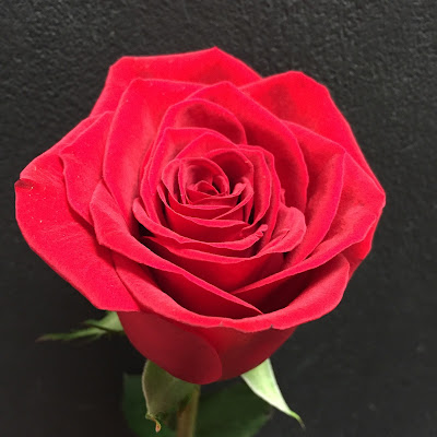 Red Rose at Stein Your Florist Co.