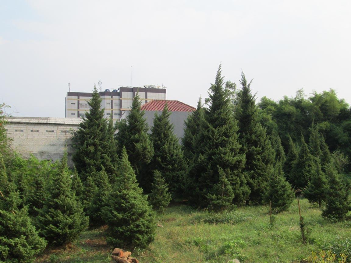 Pohon Cemara Natal