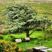 Pictures of Ireland: Sheep under a tree in County Mayo
