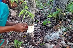 Cara mencangkok asam jawa untuk bahan bonsai
