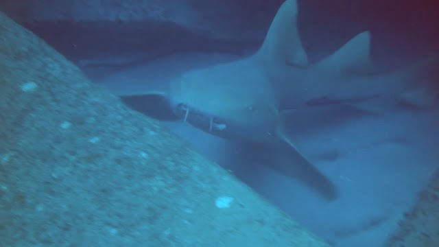 Sharks, Rays and Goliath Groupers
