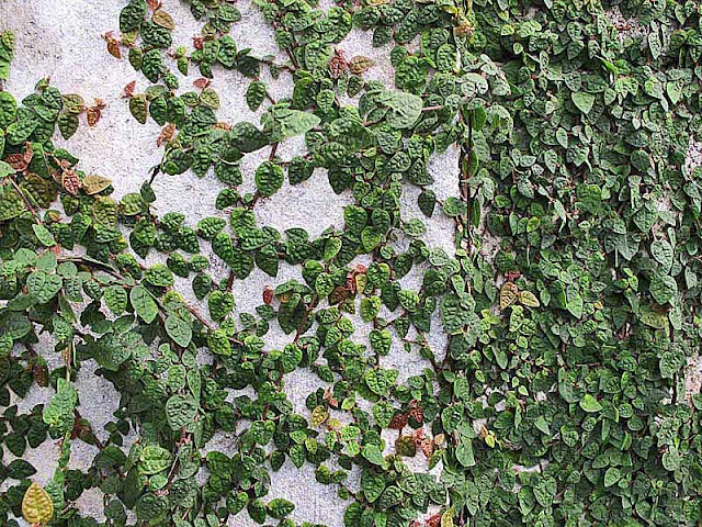 Creeping Rubber vines on concrete wall