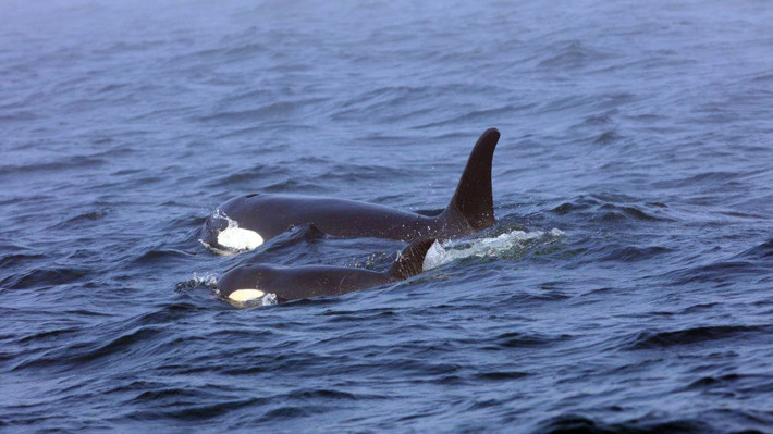A new type of Orca is discovered off the south coast of Chile.